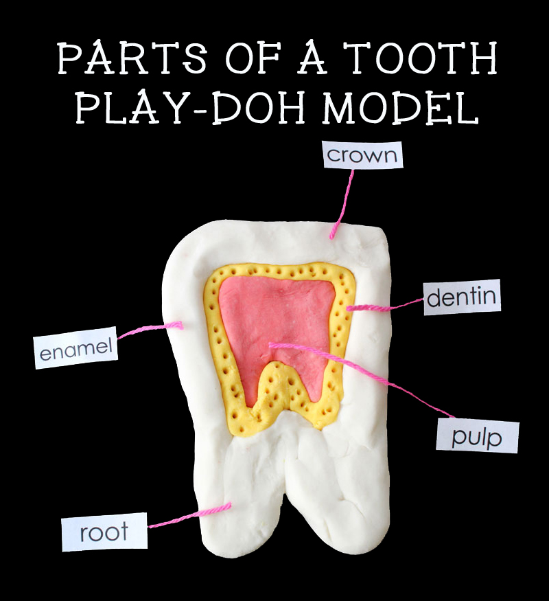 parts of a tooth play-doh model for dental health theme